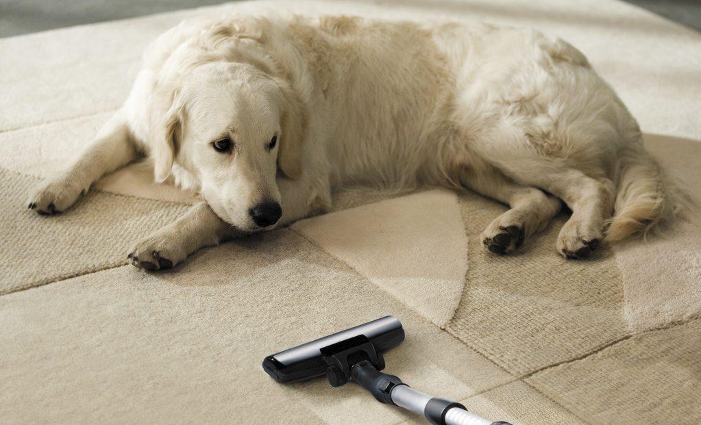 Un chien n'est pas effrayé par un aspirateur animaux silencieux